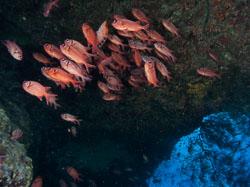 BD-090407-St-Johns-4072932-Myripristis-berndti.-Jordan---Evermann.-1903-[Blotcheye-soldierfish].jpg